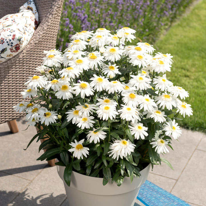 Leucanthemum Plant - Sweet Daisy Birdy