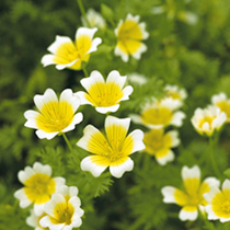 Poached Egg Plant Flower Seeds
