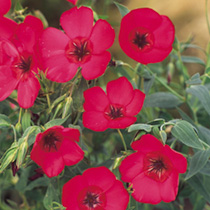 Linum Seeds - Red Robin