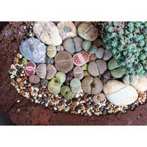 Houseplant Seeds - Lithops (Living Stones) Gem Stones Collection