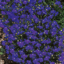 Lobelia Seeds Crystal Palace