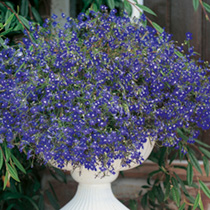 Click to view product details and reviews for Lobelia Seeds Sapphire Blue Basket.