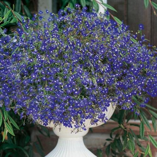 Lobelia Sapphire Blue Basket Seeds