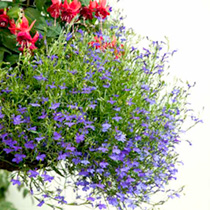 Click to view product details and reviews for Lobelia Seeds Monsoon.