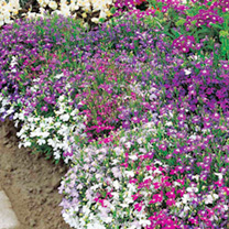 Click to view product details and reviews for Lobelia Seeds Cascade Mix.