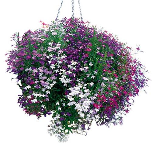 Lobelia Trailing Plants - Wonderfall Mixed