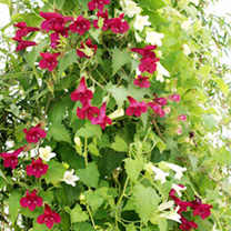 Grow lofos and youll get not just cascades of colour but a positive Niagara Falls! These phenomenal plants are quite simply breathtaking, combining br