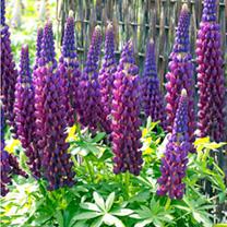 Lupin Plant - Masterpiece