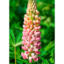 Lupin Plant - Russell Hybrid La Chatelaine