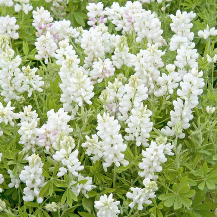 Lupin Seeds - Snow Pixie
