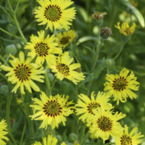 Attractive grey-green foliage and bright yellow flowers with contrasting maroon central rings. Particularly strongly perfumed early in the morning and