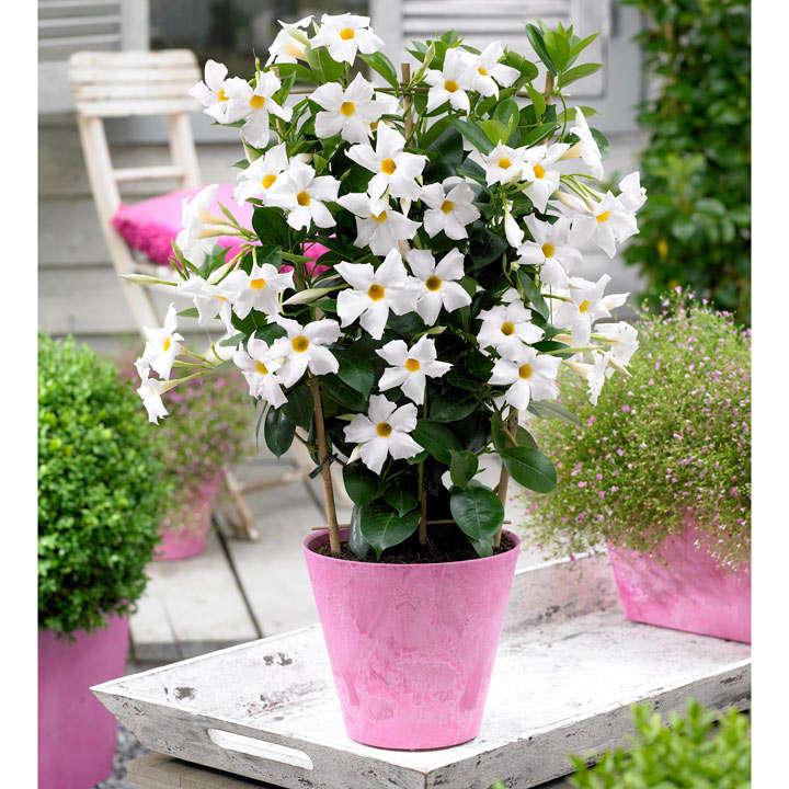Mandevilla bloom bells white view all flower plants flower mandevilla bloom bells plant white mightylinksfo