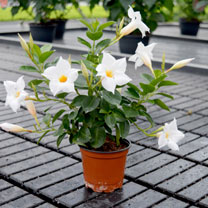 Mandevilla Bloom Bells Plant - White