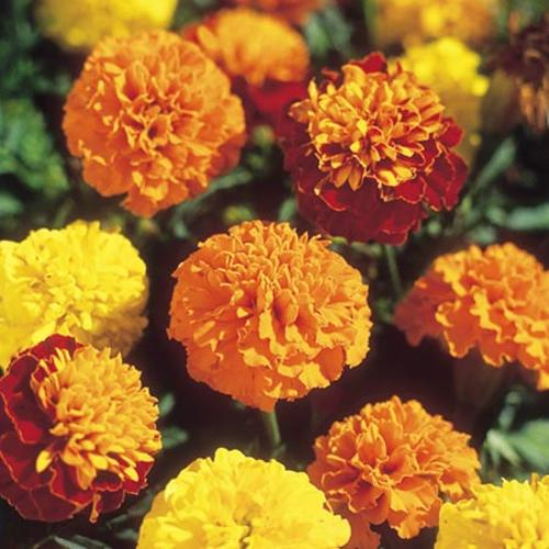 Marigold French Seeds - Boy-O-Boy Mix