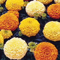 Click to view product details and reviews for Marigold African Seeds F1 Marvel Mix.