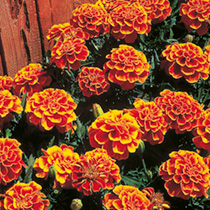 Click to view product details and reviews for Marigold French Seeds Queen Sophia.