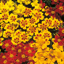 Click to view product details and reviews for Marigold French Seeds Fantasia Mix.