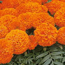 A well tried and tested marigold producing vigorous plants with compact foliage that does not compete with the masses of very large, bright orange flo