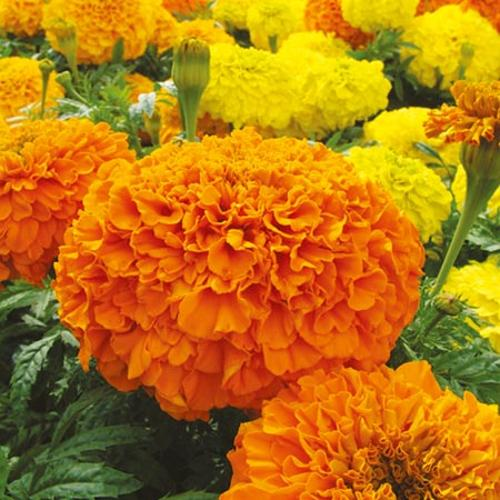 Marigold (African) Plants - Sunspot Mix