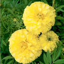 Marigold African Seeds - F1 Key Lime