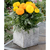 Click to view product details and reviews for Marigold African Seeds F1 Cheerleader Mix.