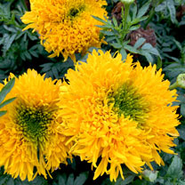 Click to view product details and reviews for African Marigold Seeds Mission Giant.