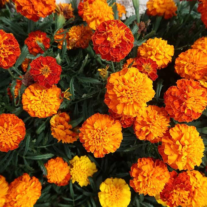 Marigold French Seeds - Orange Winner
