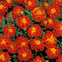Marigold French Seeds Red Brocade
