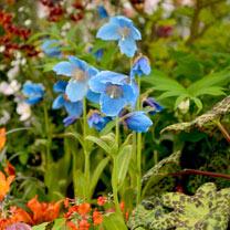 Meconopsis Plants - Lingholm