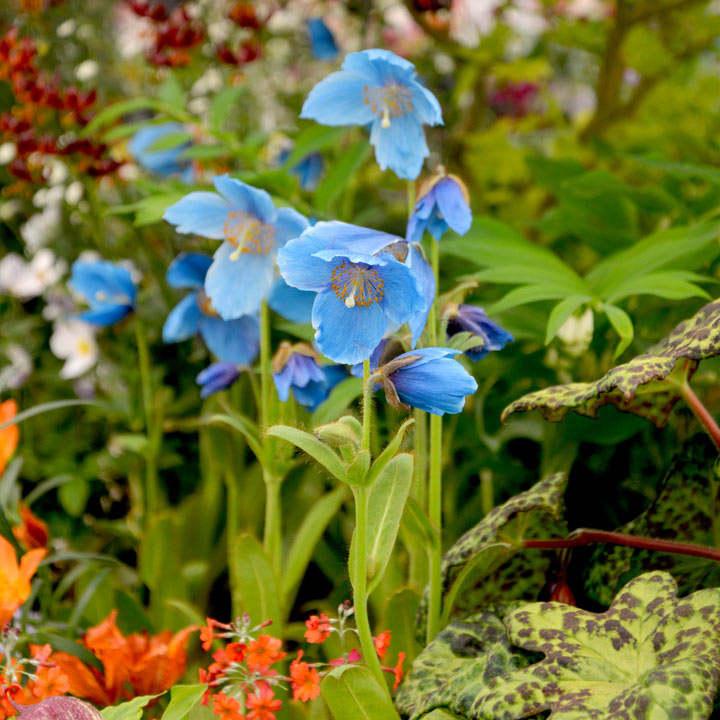 Meconopsis Plant - Lingholm