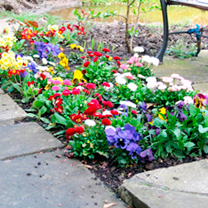 Winter Bedding Plants - Collection