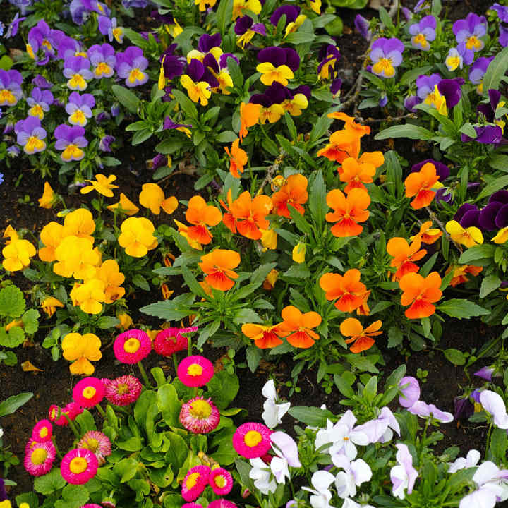 Winter/Spring Bedding Plants Our Selection - Extra Value Plugs