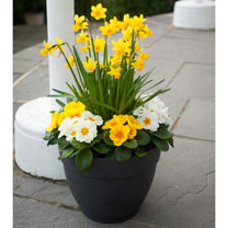Primula Plants/Daffodil Tete Bulbs - Twin Pack