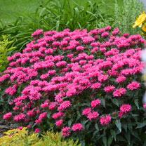 Monarda Plant - Bubblegum Blast