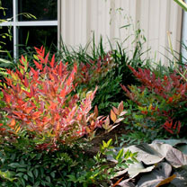 Nandina domestica Plant - Obsessed NOBLE