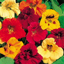 Nasturtium Seeds - Jewel Mix