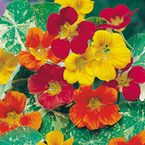 Nasturtium Seeds - Jewel of Africa Mix