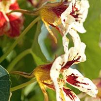 Nasturtium Seeds - Bloody Mary