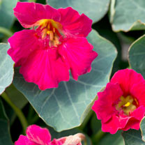 Click to view product details and reviews for Nasturtium Seeds Baby Rose.