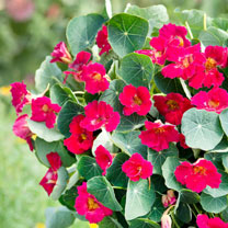 Nasturtium Seeds - Baby Rose