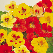 Nasturtium Seeds - Little Gem Mix