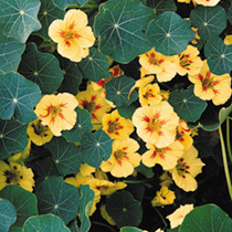 Nasturtium Seeds - Collection