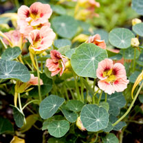 Click to view product details and reviews for Nasturtium Seeds Ladybird Rose.