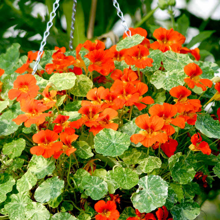 Nasturtium Seeds - Orange Troika