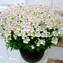 Nemesia Plants - French Connection Easter Bonnet