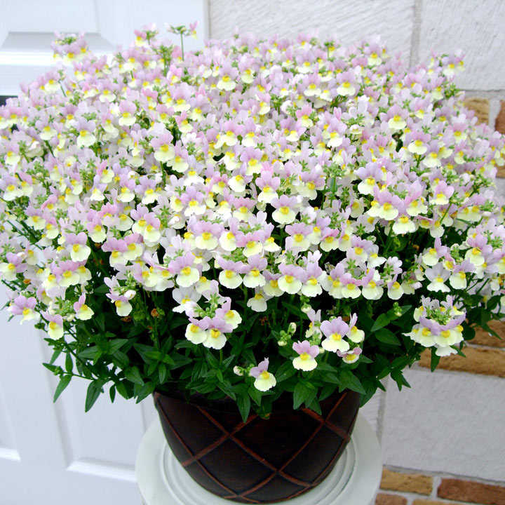 Nemesia Plants - Easter Bonnet