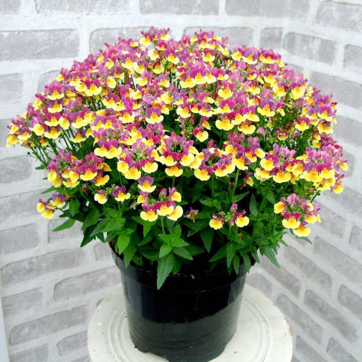 Nemesia Plants - Aroma Rhubarb & Custard