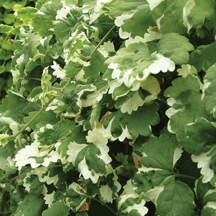 Nepeta Plants - Variegata