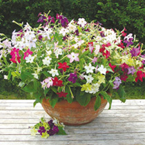 Nicotiana Plants - Perfume Mix
