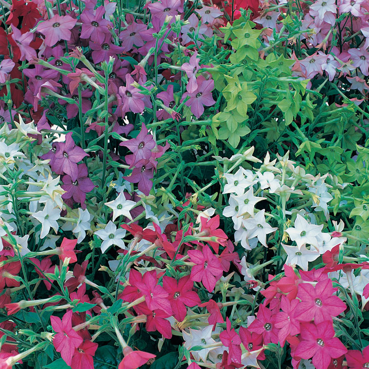 Nicotiana Plants - F1 Perfume Mix